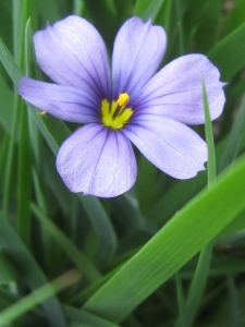 Blue-eyed grass.