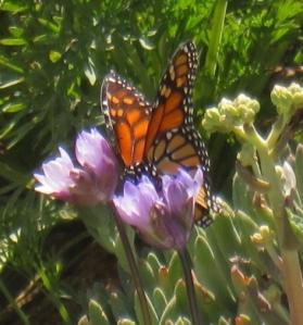 Monarch on Dichelostemma.