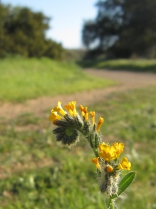 """to the golden tune of fiddlenecks"""