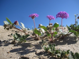 Not much winter rain = too many desert annuals this year . . . which made this dune verbena even more of an eye-catcher.