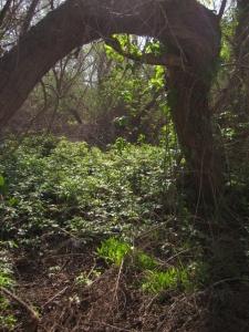 Poison oak, The Willows.
