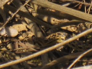 Gopher snake in hiding.