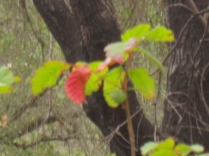 It doesn't need to be fall for the poison oak to turn color--the lack of moisture is also a trigger.