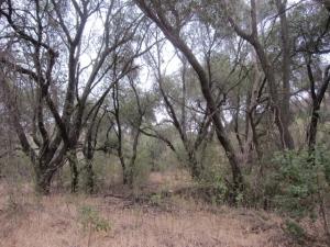 Skinny oak grove in Round Canyon.