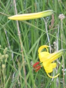 Lemon lilies