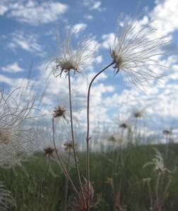 Last photo . . . one of my favorites . . . prairie smoke on the Zumwalt.