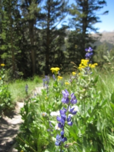 "Another must-do, pretty uncrowded hike: to the ""hanging gardens"" of Mt. Dana. Just park right before the entrance station to Yosemite, and head toward the mountain. In less than a mile, you'll be stunned by meadows thick with wildflowers (watered by seeps on the flank of Mt. Dana)."