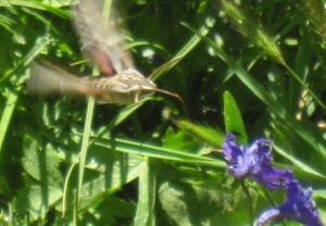 This white-line sphinx moth was just as big as hummingbird. Cool!