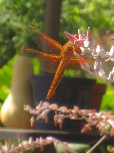 Back yard dragonfly on chalk dudleya flowers
