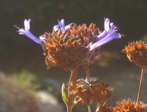'Winifred Gilman' sage: pretty in purple and super aromatic.