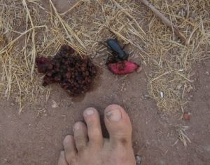 Coyote scat full of cactus tuna seeds makes for a dung beetle feast.