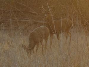 pre-dawn deer