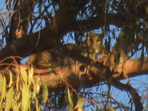 Bobcat along the Roadrunner Loop trail at Irvine Park, Orange, CA