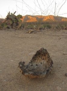 Cactus pad blown onto the trail from recent Santa Ana winds.