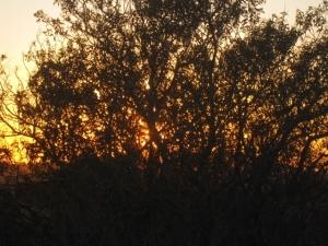 Laurel sumac at sundown