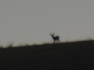 Mule deer on Quail Hill
