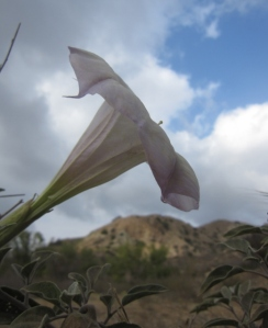 What can continue blooming, even after eight months of no rain? Sacred datura (