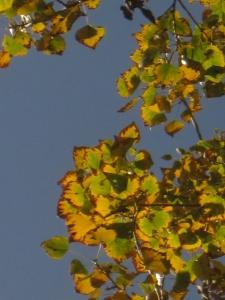Fall cottonwood leaves transfigured by sunlight