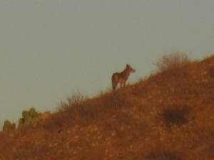 Coyote in the first sun rays of the day.