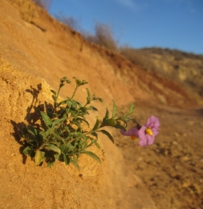 Wild nightshade along the trail--one of the few flowers that has responded to the little bit of rain this season.
