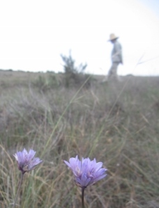 Not too much in bloom, due to the extremely dry winter we've had, but a recent hike turned up a field of Dichelostema capitatum (aka Blue Dicks).  Local poet-hiking-buddy Chuck took me for a South Coast Wilderness excursion last week.