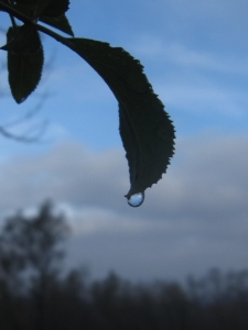 Laurel sumac droplet.