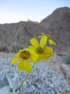 Desert brittlebush, another faithful flowering shrub.