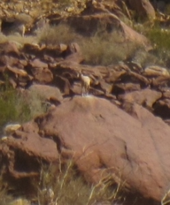 A desert bighorn sheep in Palm Canyon--right in the middle of the photo, but difficult to spot.