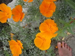California poppy season in my garden