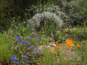 Clockwise from lower left: phacelia, buckwheat, poppy