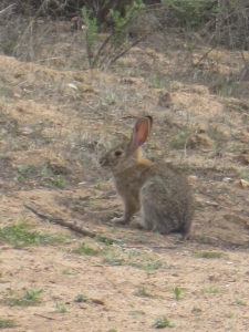 Now that there's finally some green, the bunnies are out and nibbling.