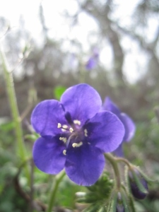 There's some fine phacelia in bloom in The Willows as well.