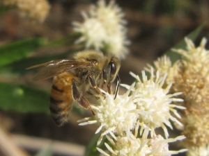 And don't get me started on the beauty of mule fat (Baccharis salicifolia) in bloom. This bee agrees!
