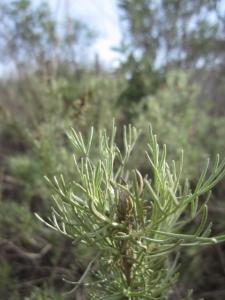 Even the California sagebrush (Artemisia californica)  is looking fluffy again.