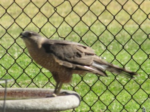 We had such a heat wave that this Cooper's hawk spent ten minutes gulping water from our backyard bird bath . . . the wild comes to us . . .