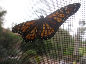 "This monarch landed on our window screen recently  . . . the original ""stained glass window."""