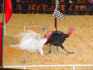 Neck and neck turkey racing at the Orange County Fair
