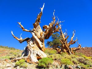 The bristlecone pines at Schulman Grove: stunning.