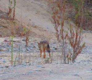 coyote crossing Santiago Creek in Irvine Park