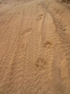 coyote and human footprints