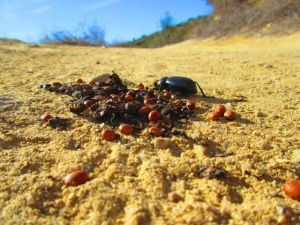 Darkling beetle feasting on coyote scat (full of toyon berries).