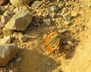 This Painted Lady was out enjoying the sunny trails also.