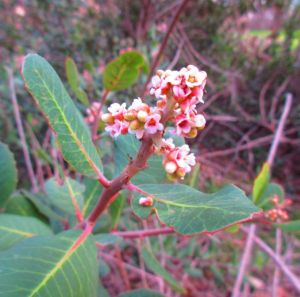 Lemonade berry's flowers give promise of tangy fruit to come.