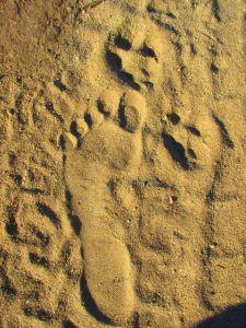 barefoot animal tracks
