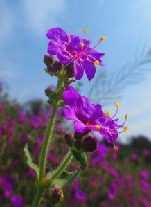 Wishbone flower.