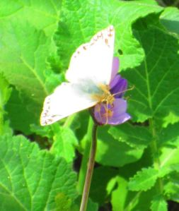 I think this is a Northern White Skipper . . .