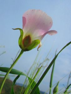 """The first sighting of the season: Catalina Mariposa Lily in all its fragile glory.  """"Consider the lilies of the field."""" Matthew 6:28"""