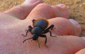 Wooly darkling beetle meet-up.