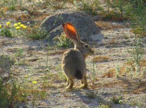 Jack rabbit ears: transformed in the slanting light.