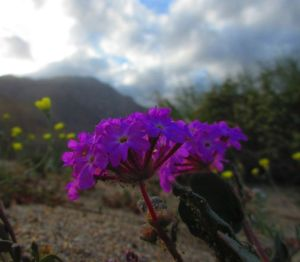 "How spectacular the annual wildflower show will be depends on the amount, intensity, and timing of the winter rains. I would rate this year ""pretty good"" . . . I've seen more (who remembers spring 2005?!), but even one or two blooms is enough to put a smile on my face. Here's one of many desert sand verbenas to be found, some in sweeping swaths."